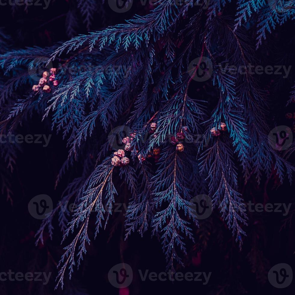 blue tree pine leaves in witer season photo