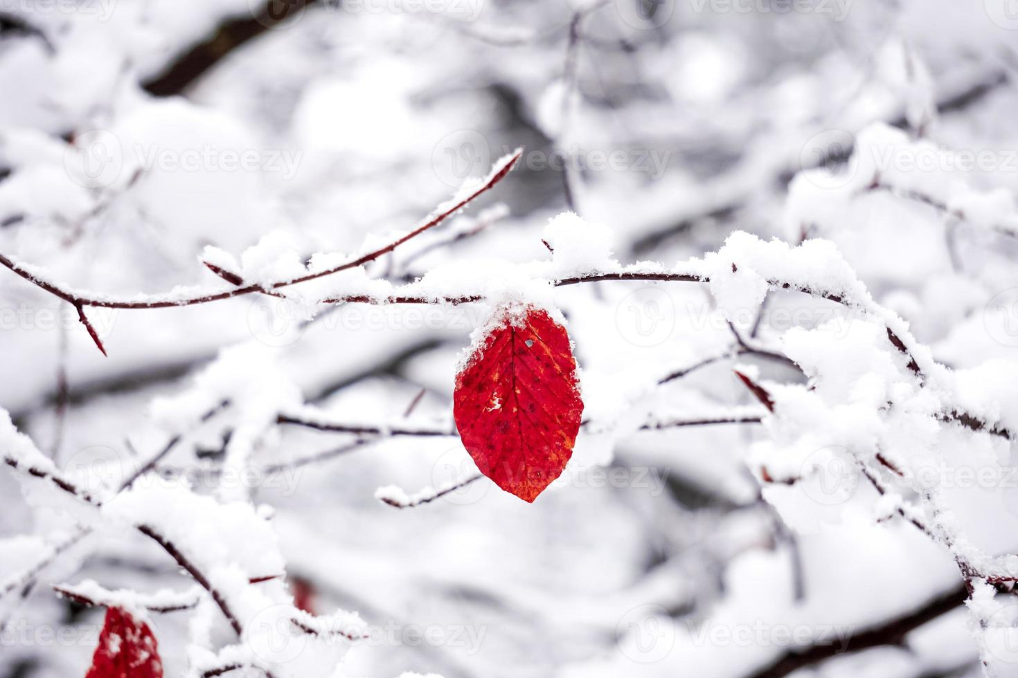 snow on the red leaf photo