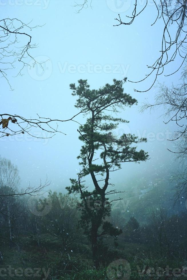 trees in the forest in foggy days photo
