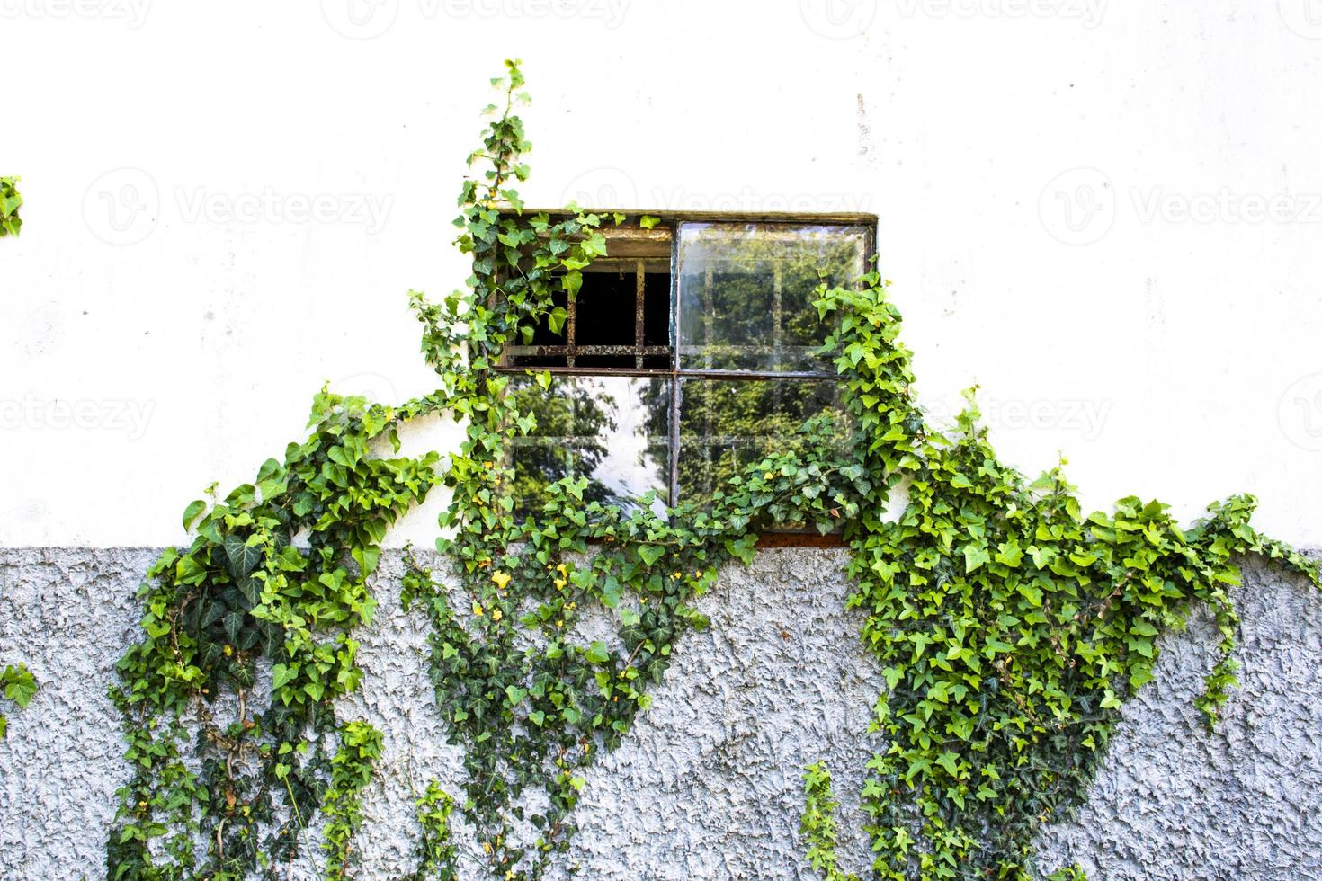 ventana con hiedra foto