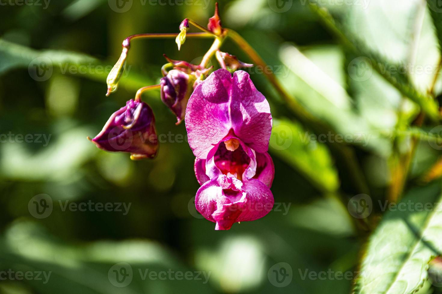 orquídeas silvestres rosadas foto