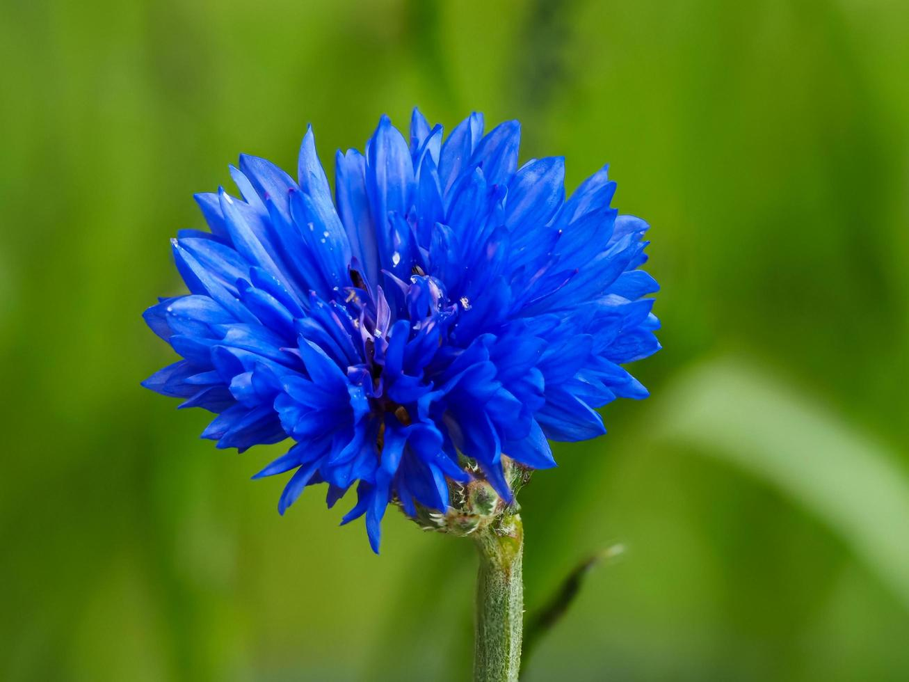 Pretty blue cornflower dwarf variety Jubilee Gem photo