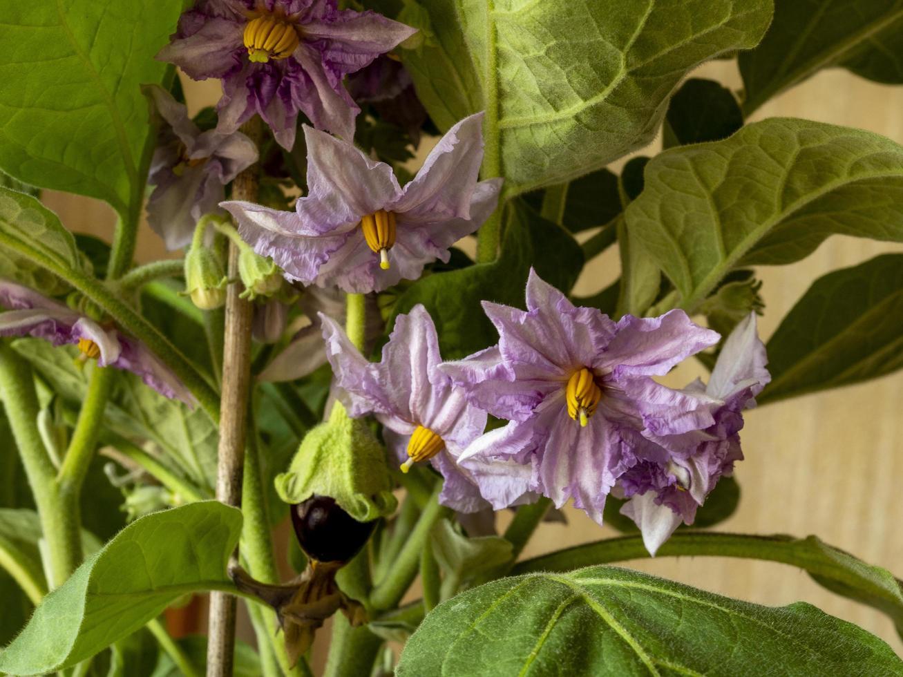 flores y un fruto en desarrollo en una variedad de planta berenjena Ofelia foto