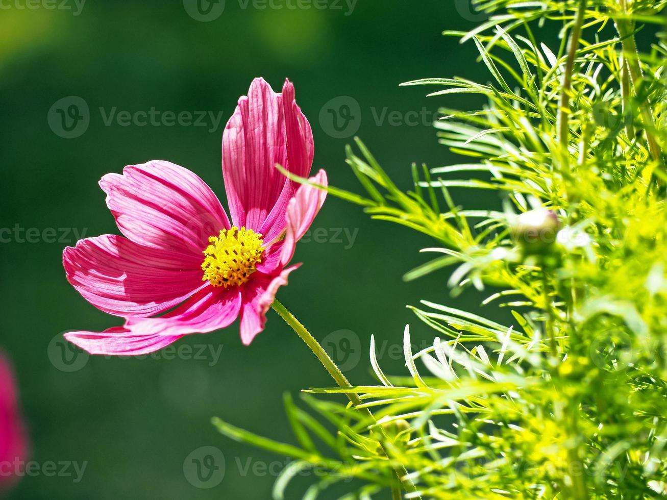 Pink Cosmos flower and green leaves in sunlight photo