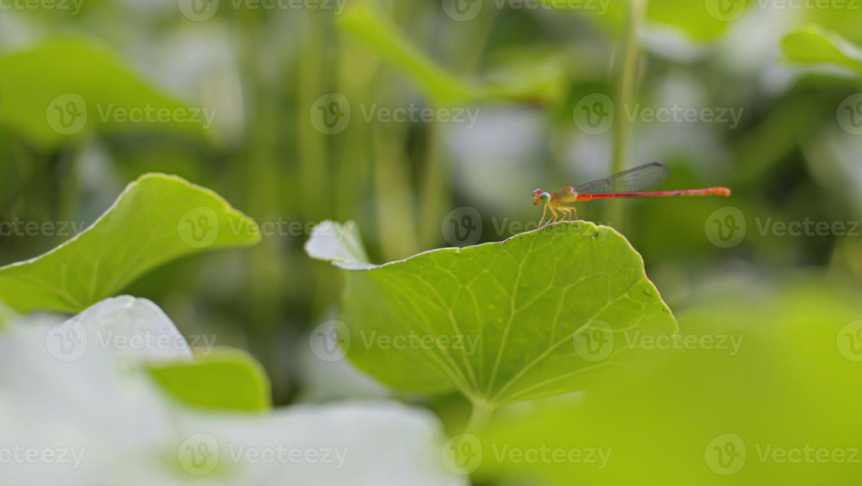 Little cute dragon fly on green leaf photo