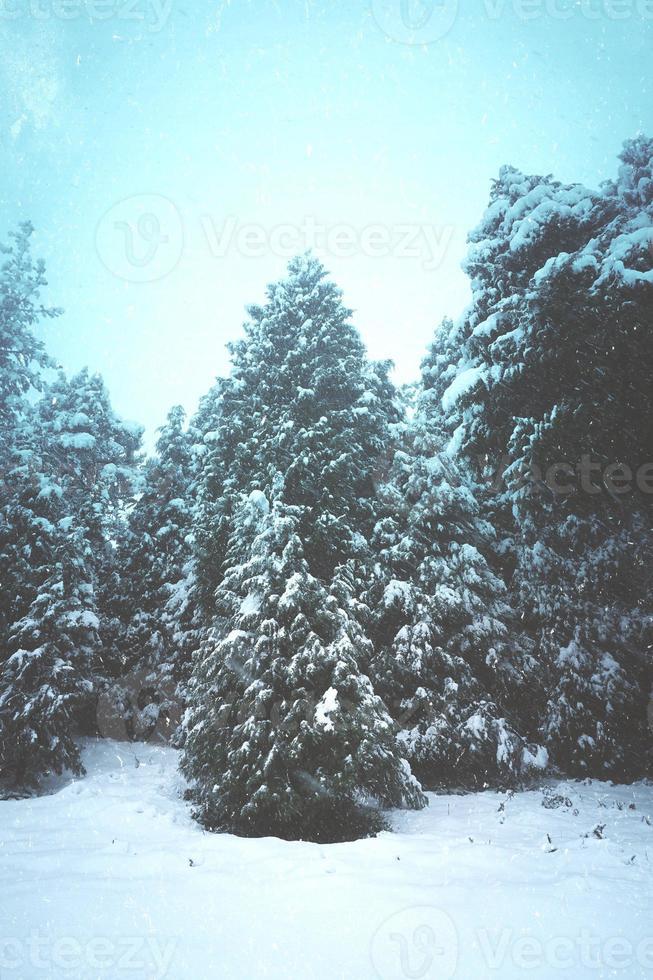hielo en los pinos de la montaña en invierno foto