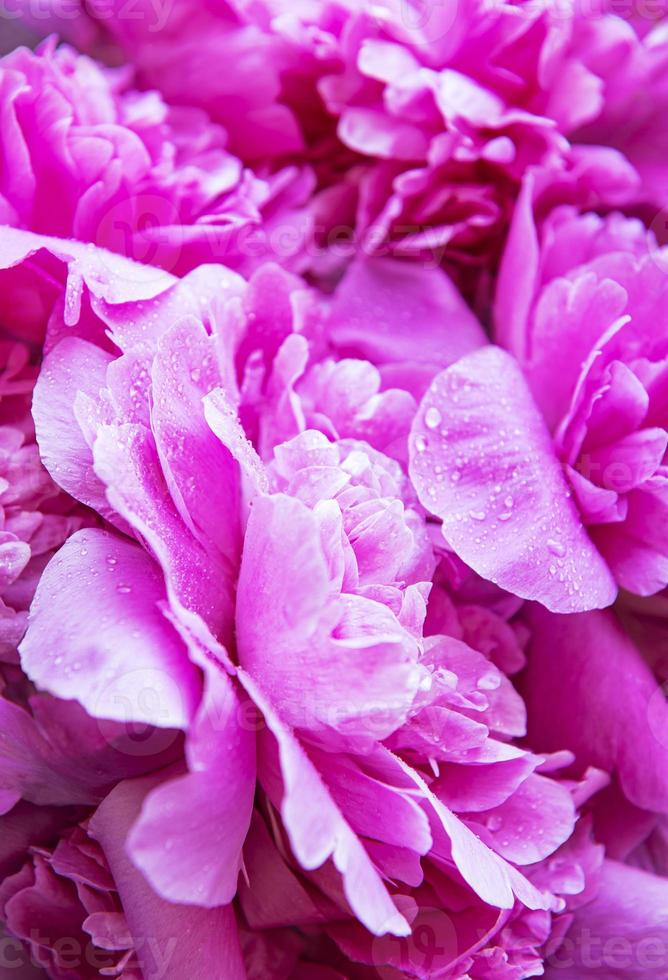 peonías rosas con gotas foto