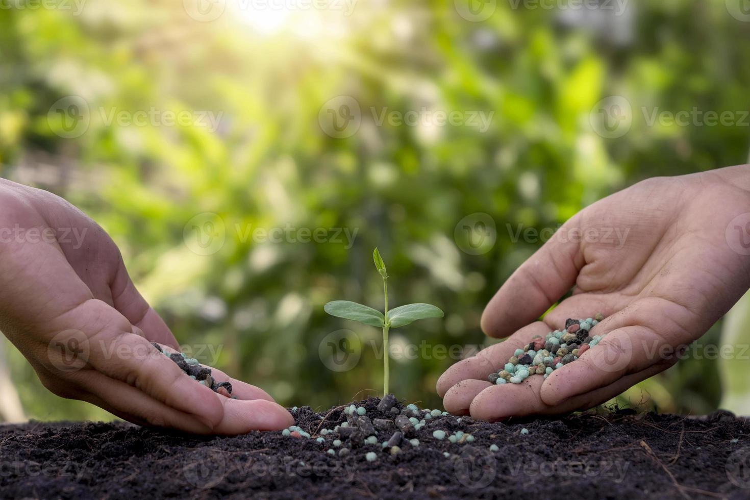 las manos están fertilizando las plántulas y regando las plántulas que crecen en un suelo fértil. concepto de agricultura, proteger la naturaleza. foto
