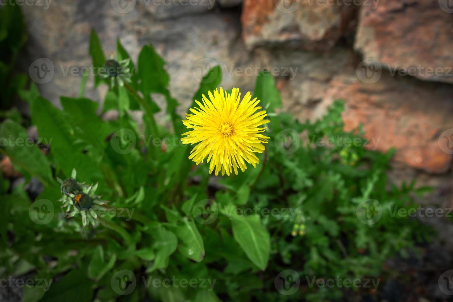 Diente de león amarillo que florece en la hierba verde cerca de la pared de ladrillo rojo foto