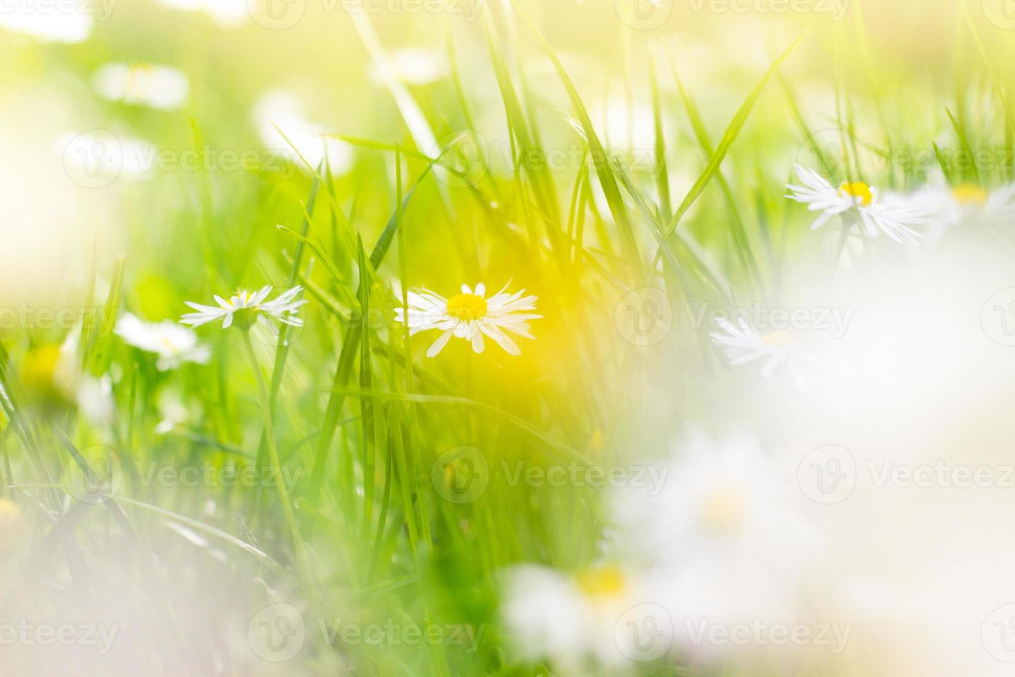 Sunny field of daisies spring background photo