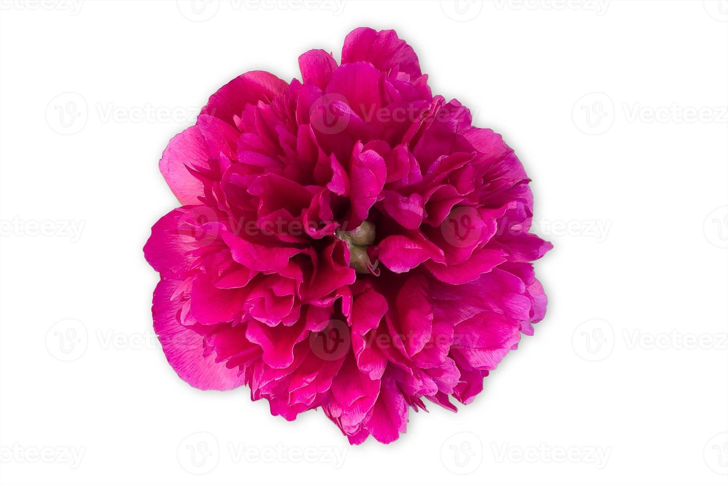 Capullo de flor de peonía de color rojo brillante o violeta con luz artificial, aislado sobre fondo blanco. foto
