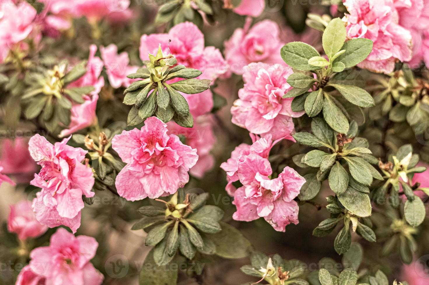 Background from pink rhododendron flowers. Spring bloom photo