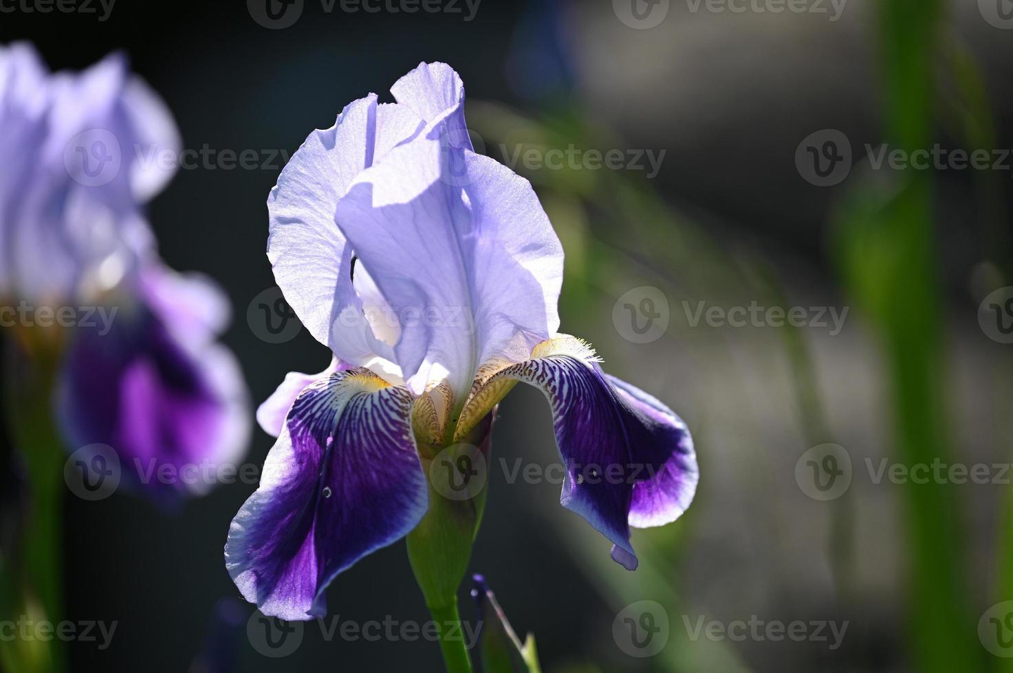 iris azulado flor foto