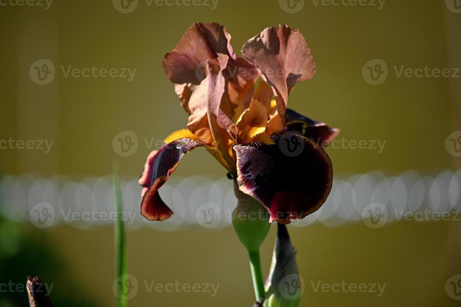 One brown iris photo