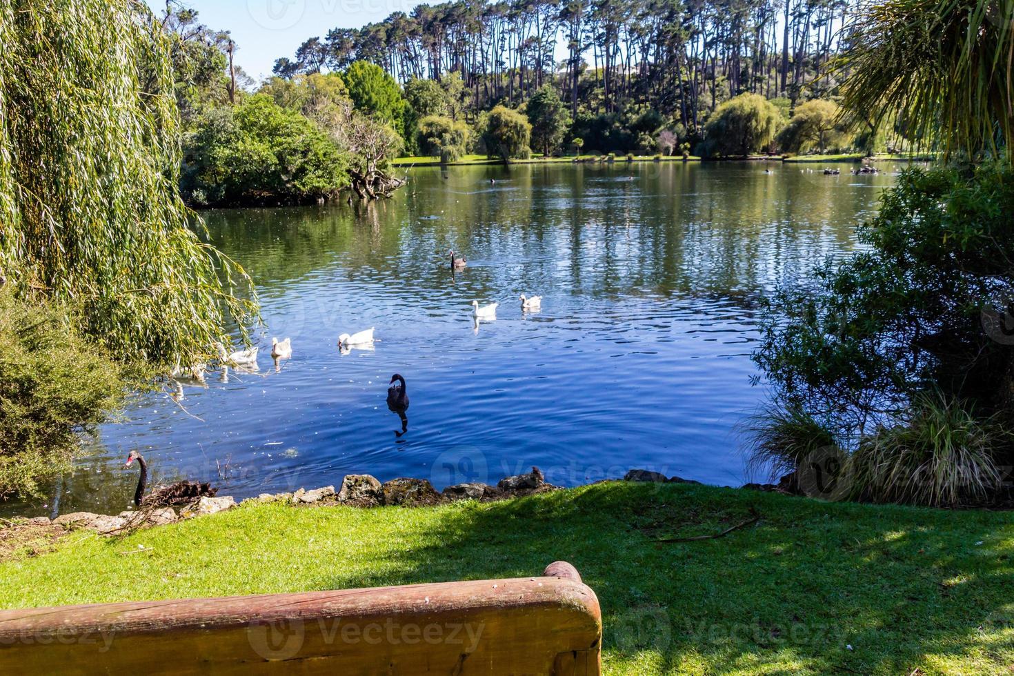 patos, pájaros, cisnes y gansos retozan dentro y alrededor del estanque. Estanque de patos de Western Springs, Auckland, Nueva Zelanda foto