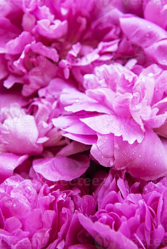 flores de peonía rosa como fondo foto