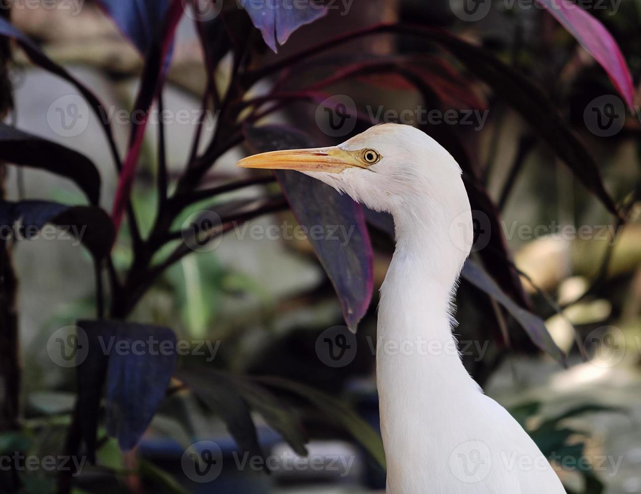 Great white egret in nature, closeup photo