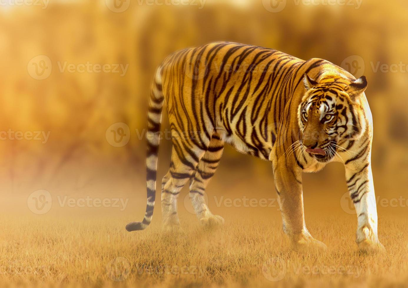 Tiger, walking in the golden light Is a wild animal hunting Summer in hot, dry areas and beautiful tiger structures photo