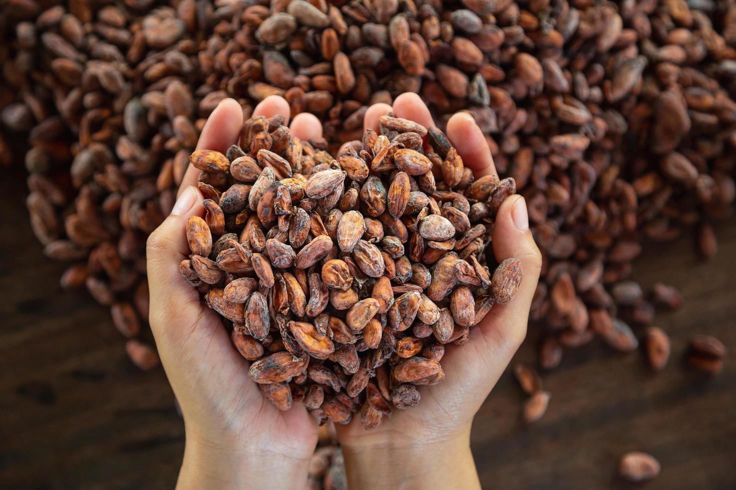 trabajador sosteniendo un puñado de granos de cacao foto