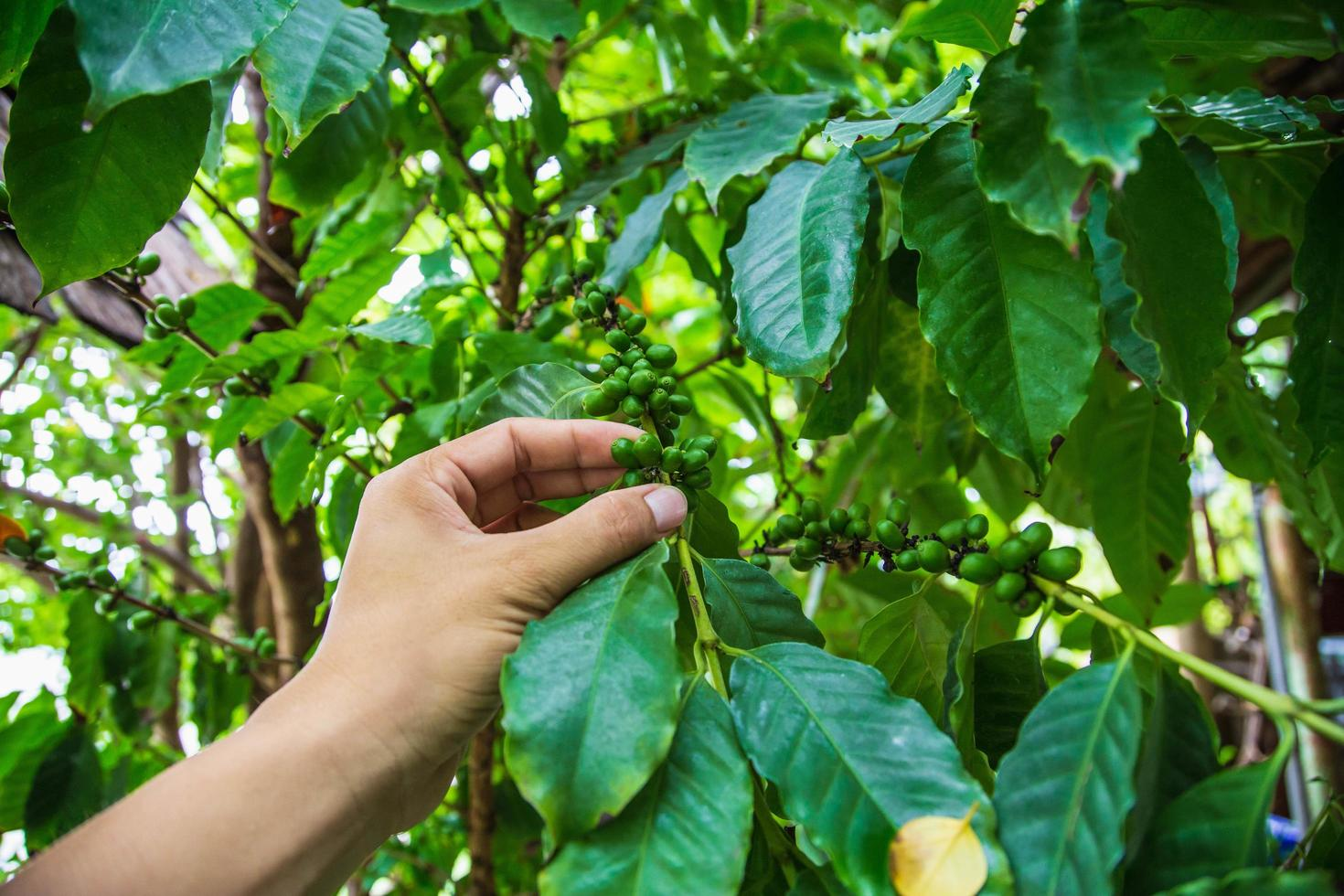 Fresh green coffee beans by agriculturist hands photo