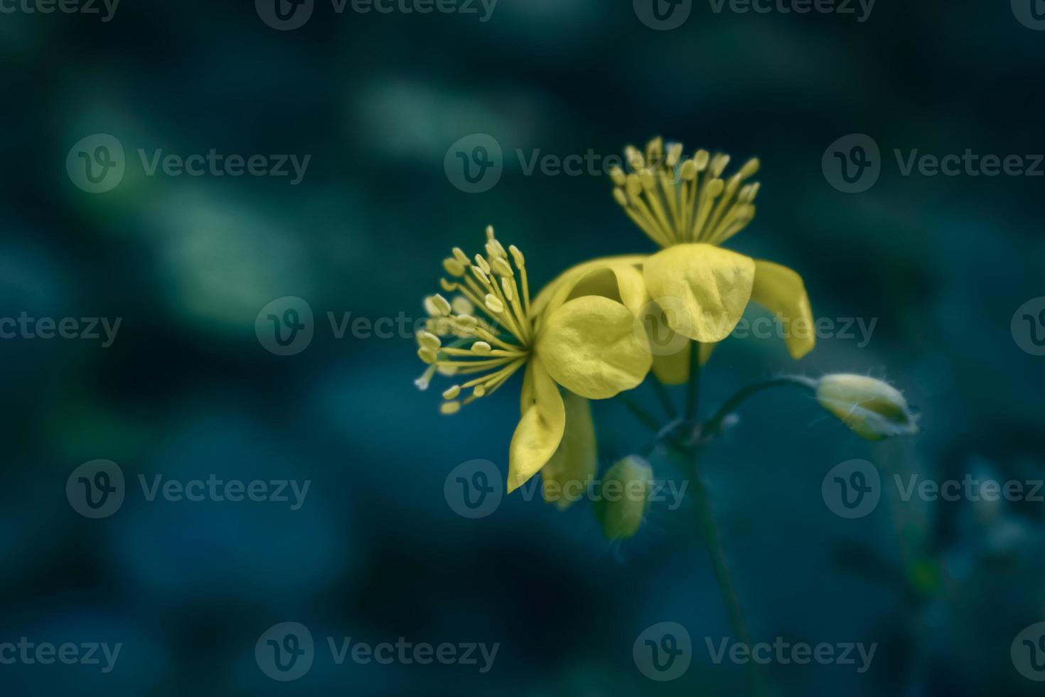 Two yellow wild forest flowers on blurred blueish background photo