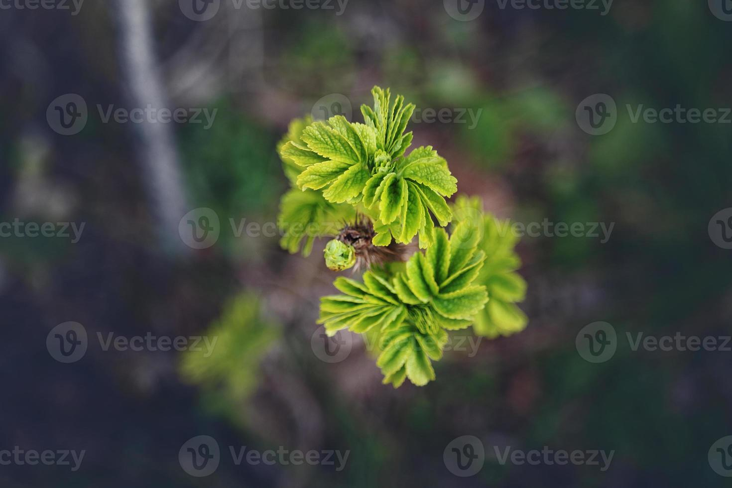 Young green spring leaves on darkened background photo