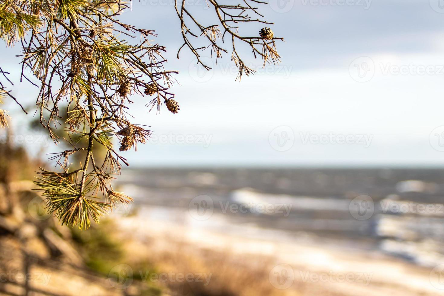 Baltic sea view on sunny day. Pine tree branch with cones in foreground and blurred background of sandy beach and sea waves photo
