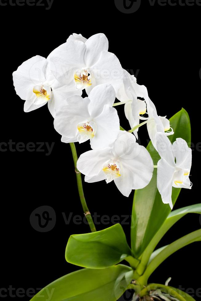 White orchid on black background photo