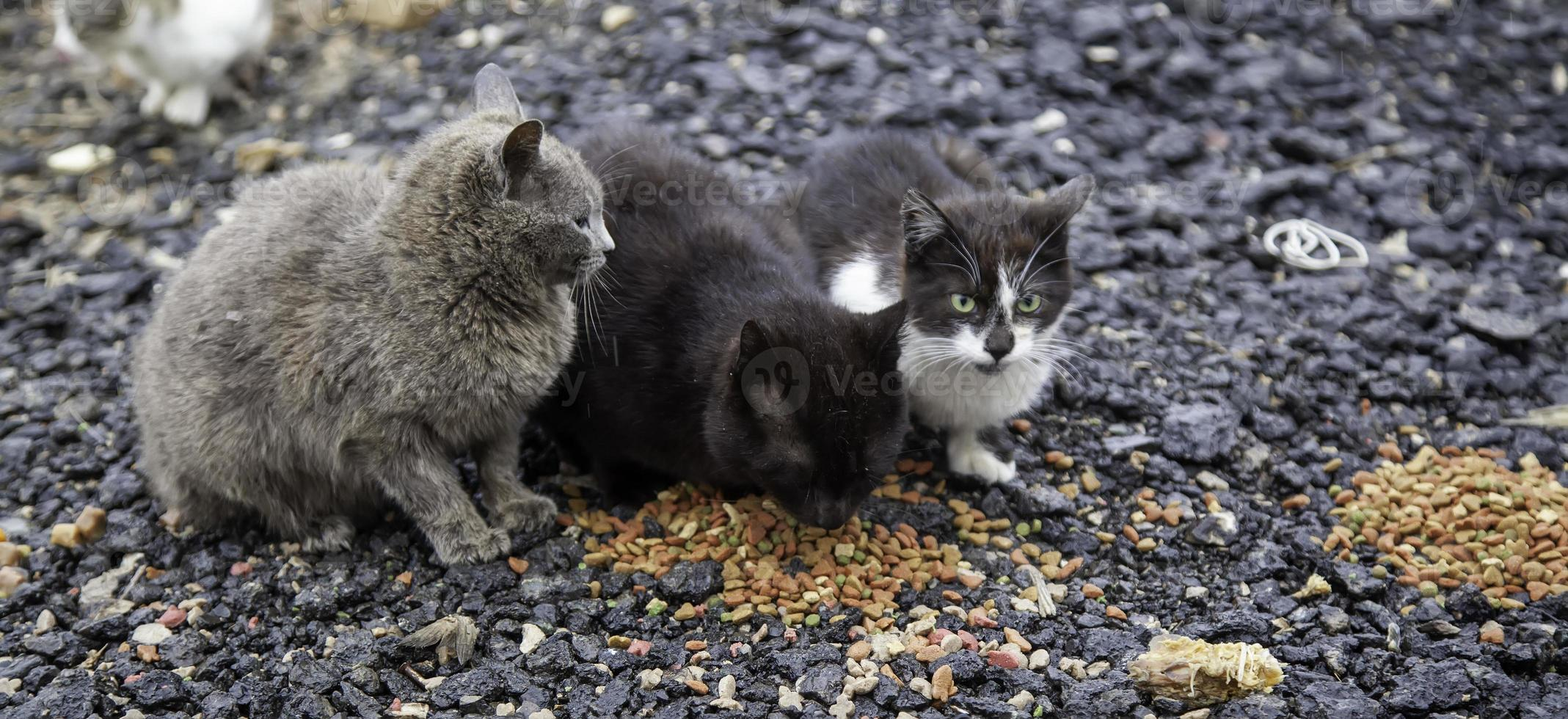 Cats eating in the street photo