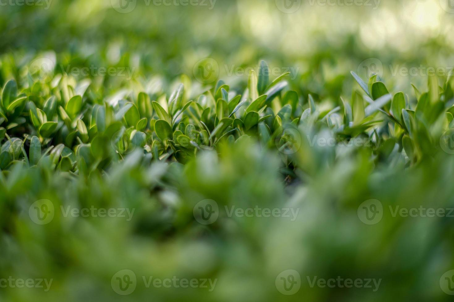 Close-up photography of decorative shrubs. photo