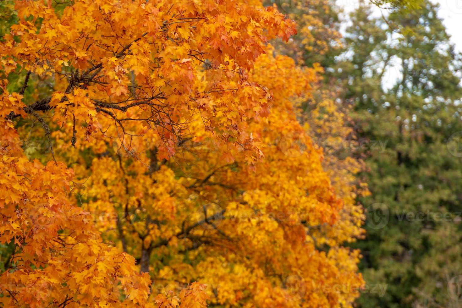 Selective focus photograph. Maple with colored autumn leaves. photo