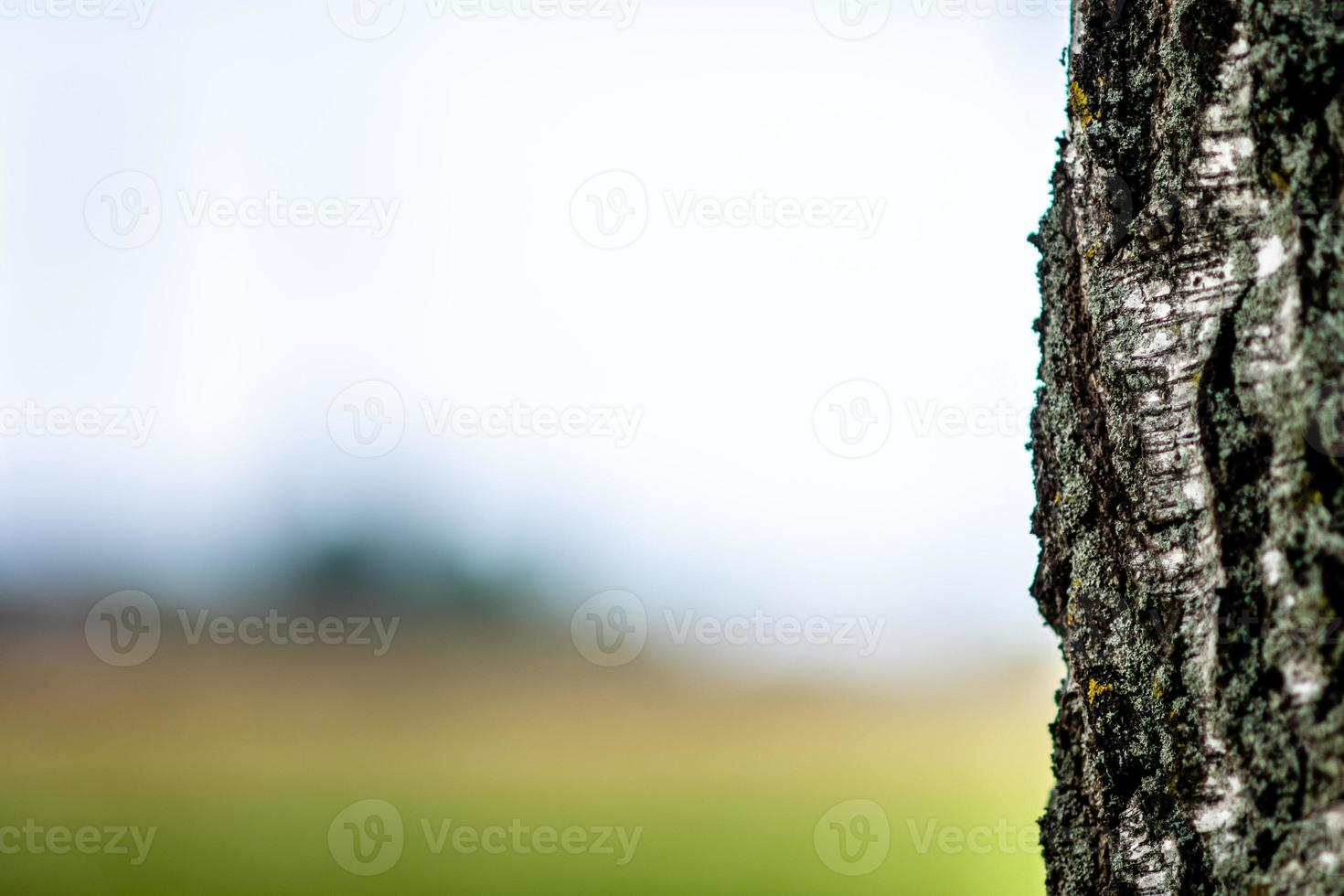 Abstracted background with a close-up of a lone birch tree trunk. photo