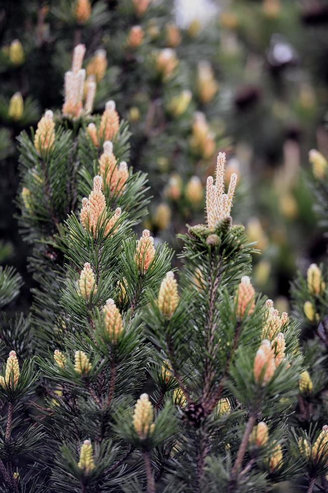 Pine with young cones photo