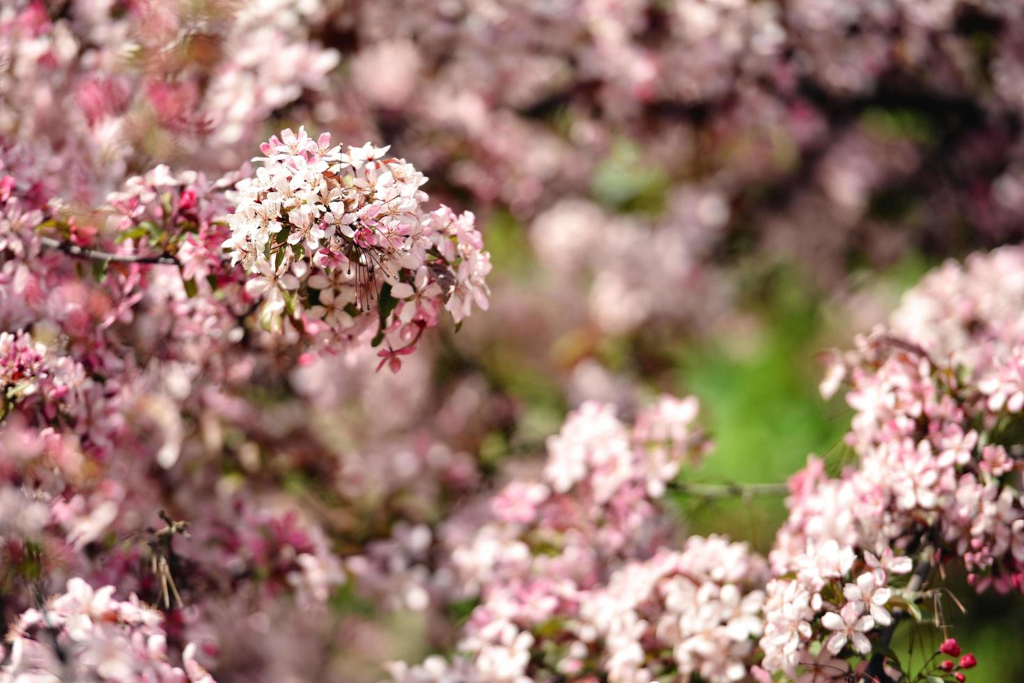 hermosas flores de manzana floreciendo foto