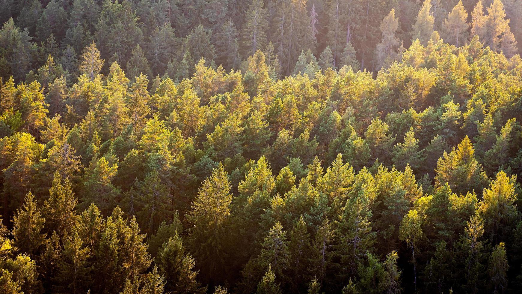 hermosa foto panorámica sobre las copas del bosque de pinos