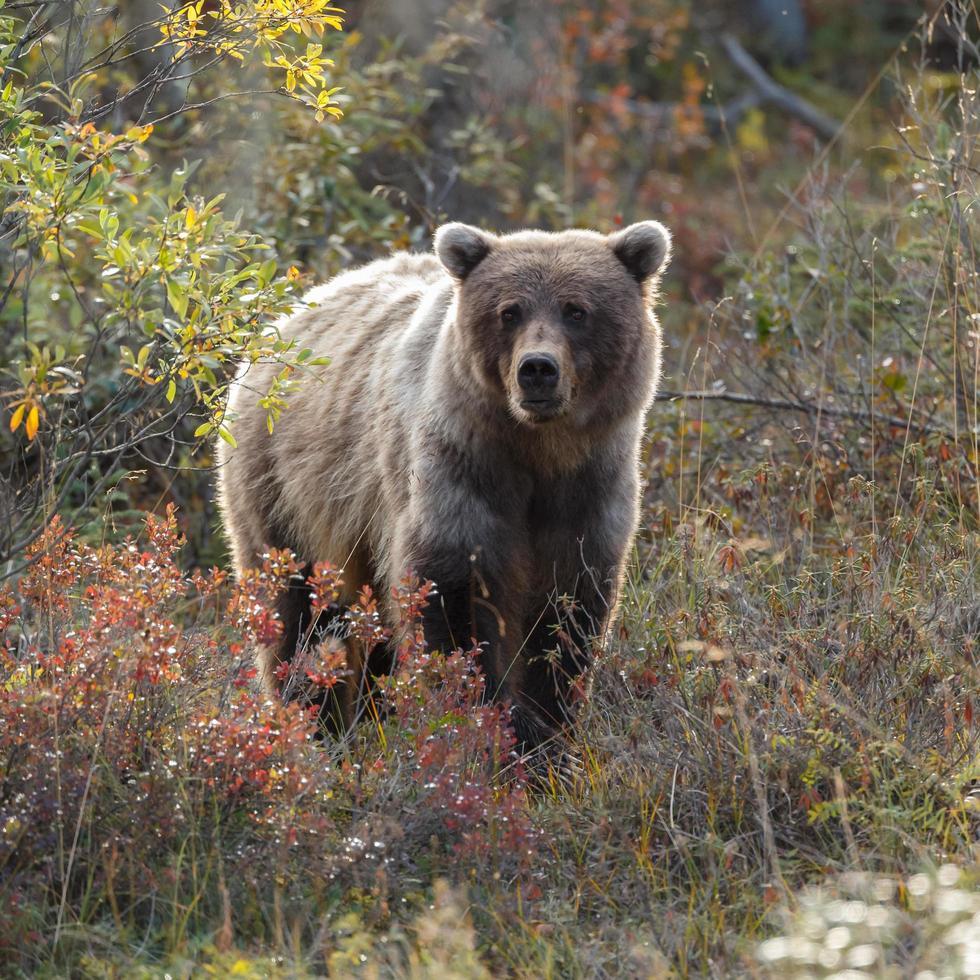 oso pardo en la naturaleza de alaska foto