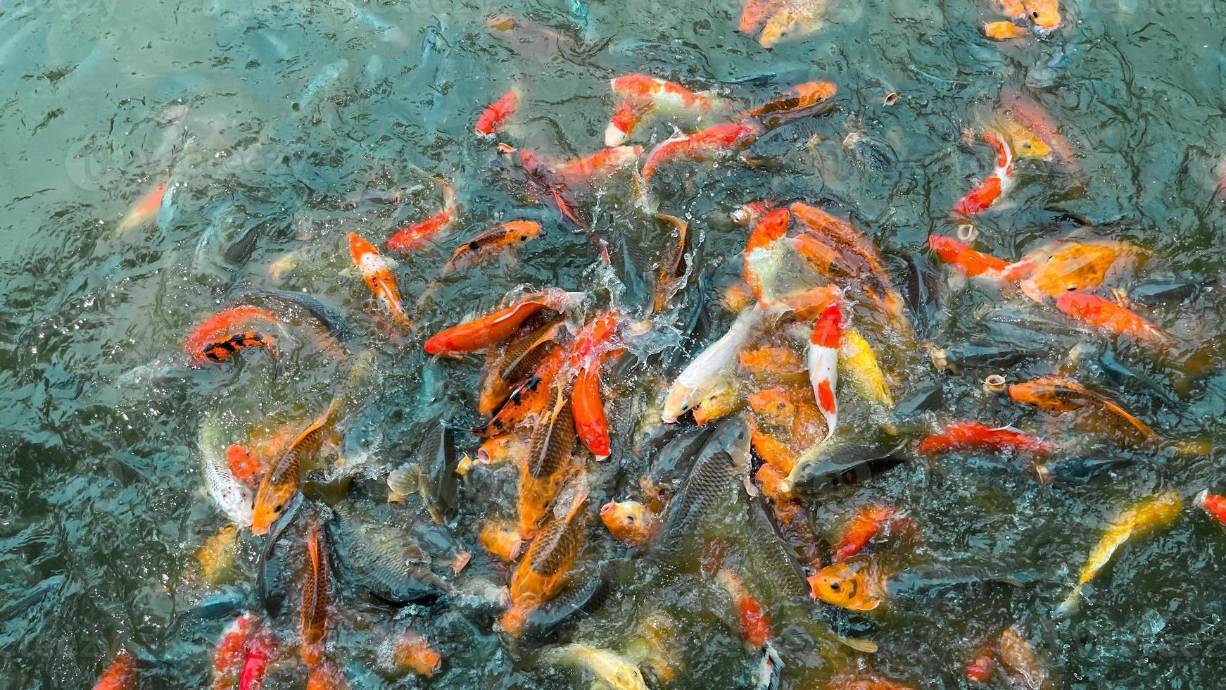 Peces koi, coloridos peces de fantasía closeup nadando en el estanque foto