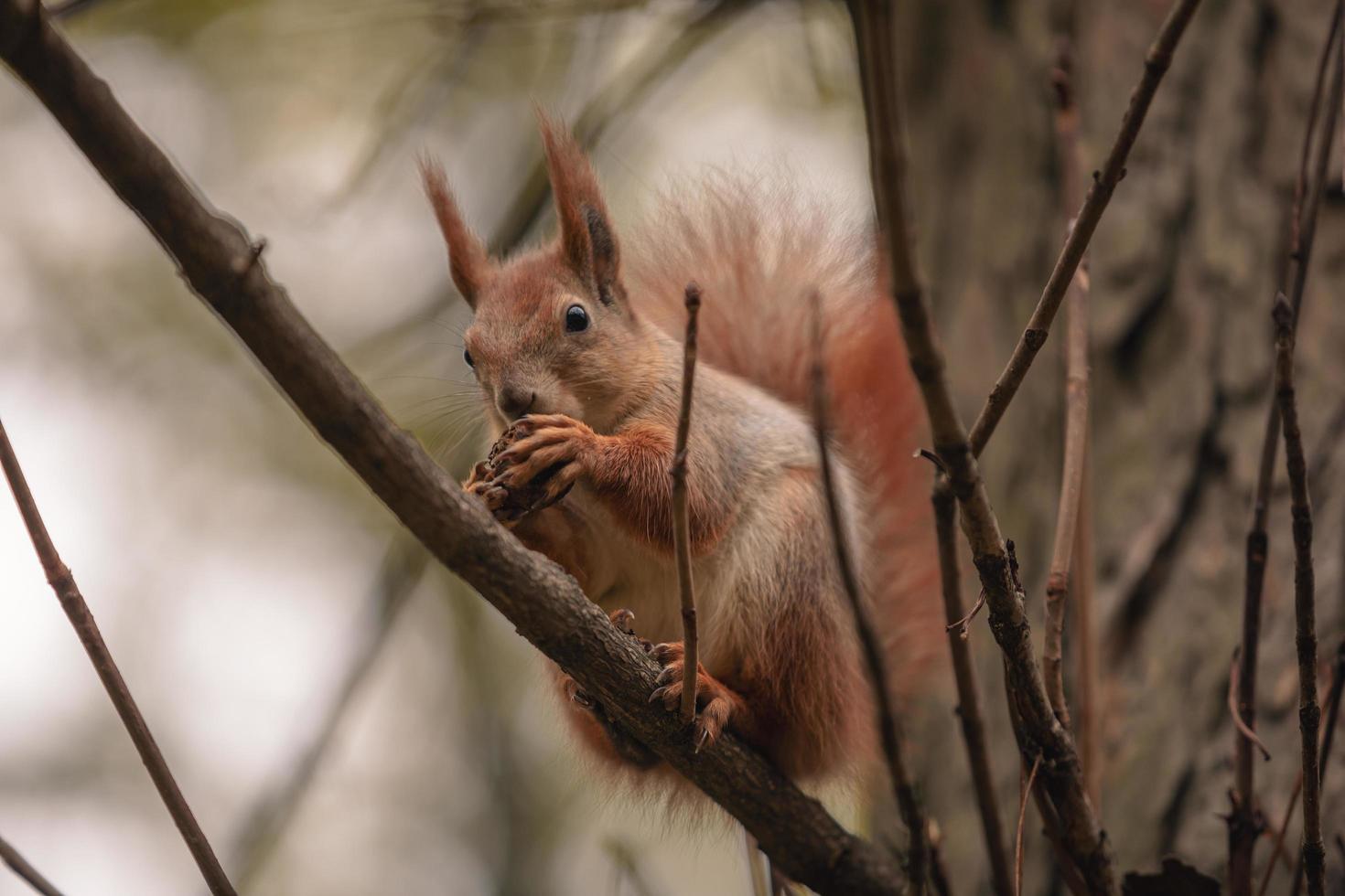 Ardilla comer nueces en la rama del árbol de otoño foto