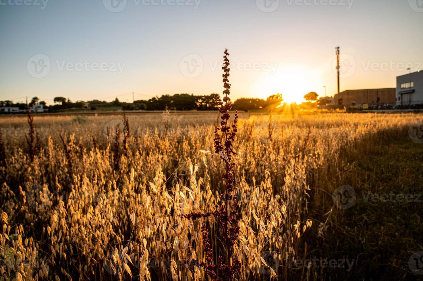 hierba al atardecer en el verano foto
