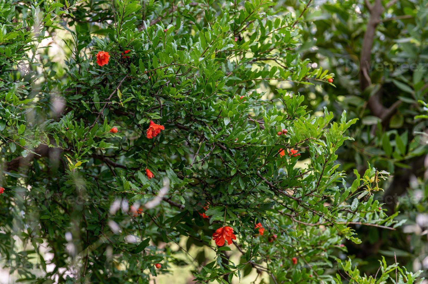 plantas de granada en flor foto