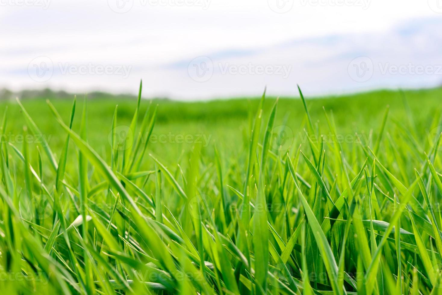 Field of fresh green grass texture as a background photo