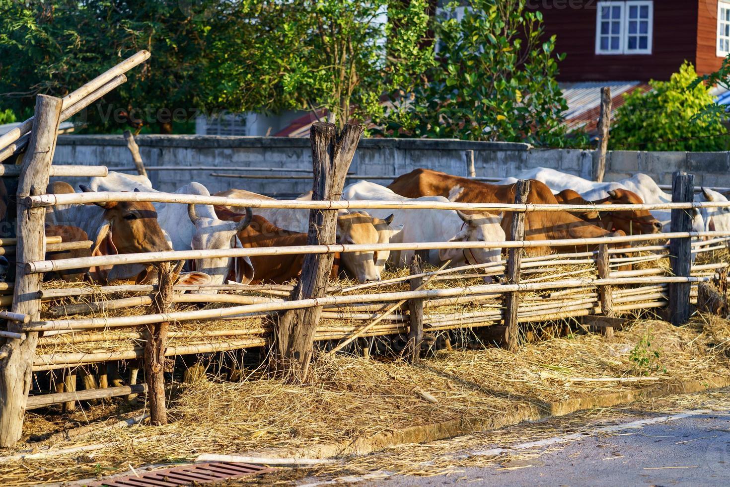 Cows in outdoor farm photo