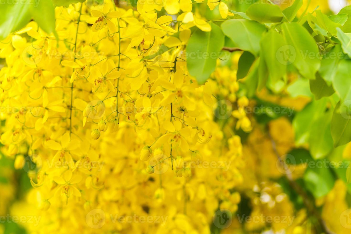 Golden Shower Tree, Yellow flowers background photo