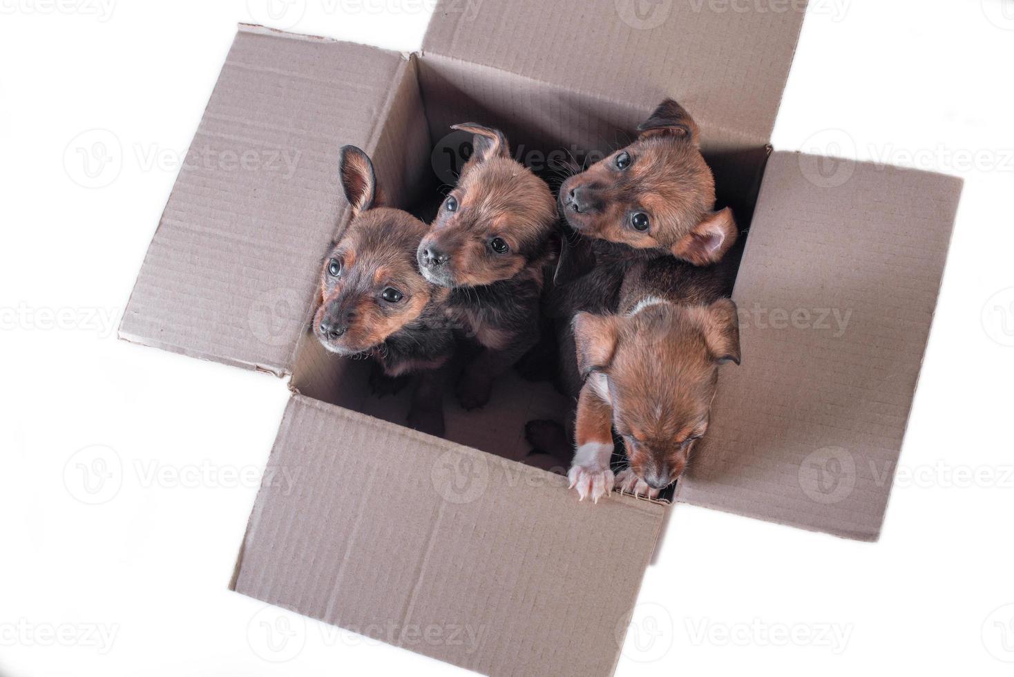 Cuatro cachorros exógenos en una caja de cartón sobre un fondo blanco. foto