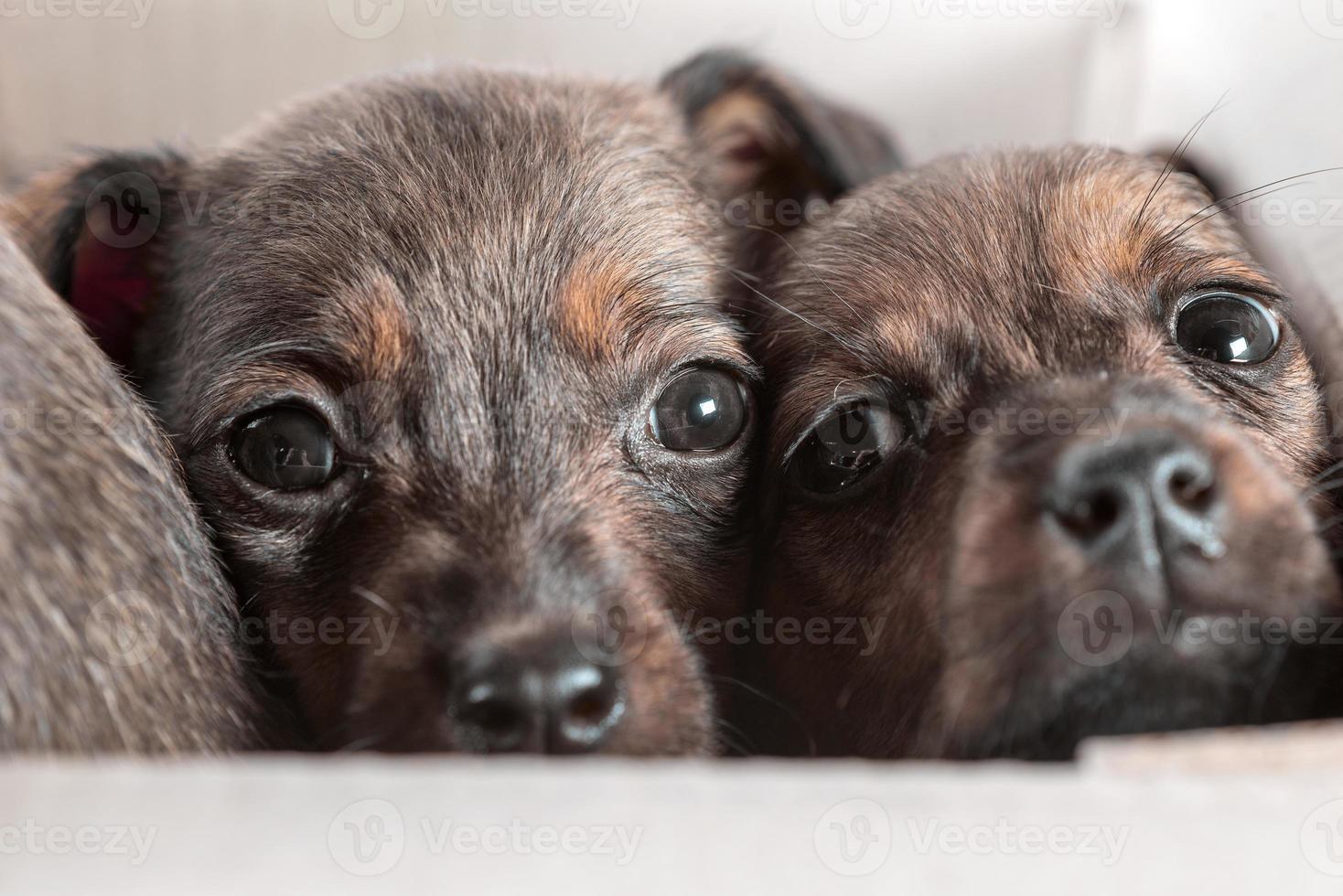Dos cachorros exógenos en una caja de cartón sobre un fondo blanco. foto