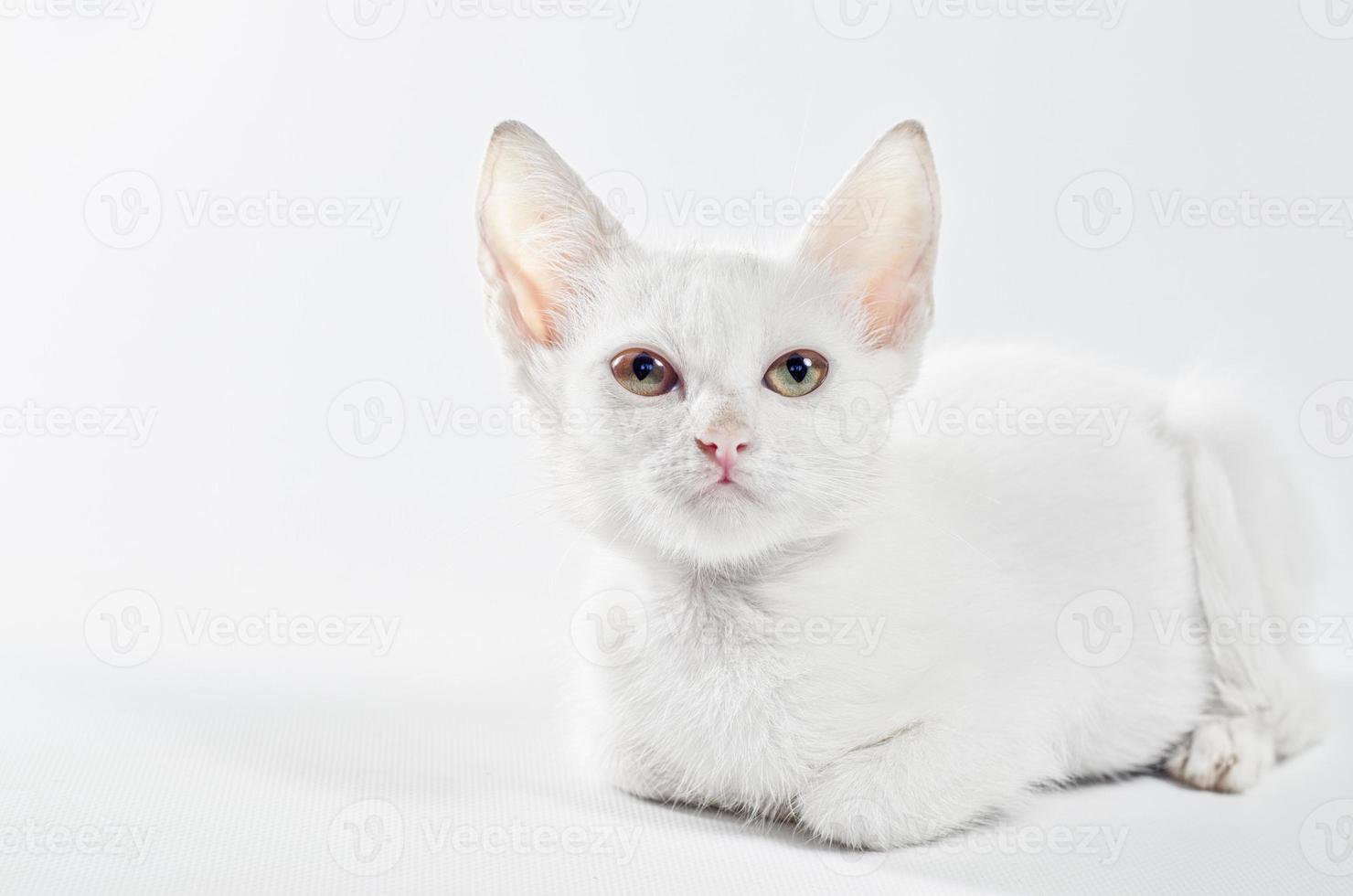 gato blanco mirando hacia arriba sobre el fondo blanco foto