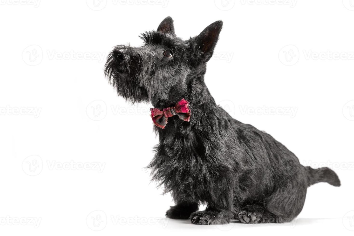 black scottish terrier puppy on a white background photo