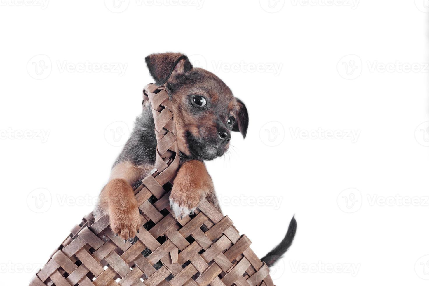 mongrel puppy in a wicker basket with a handle photo
