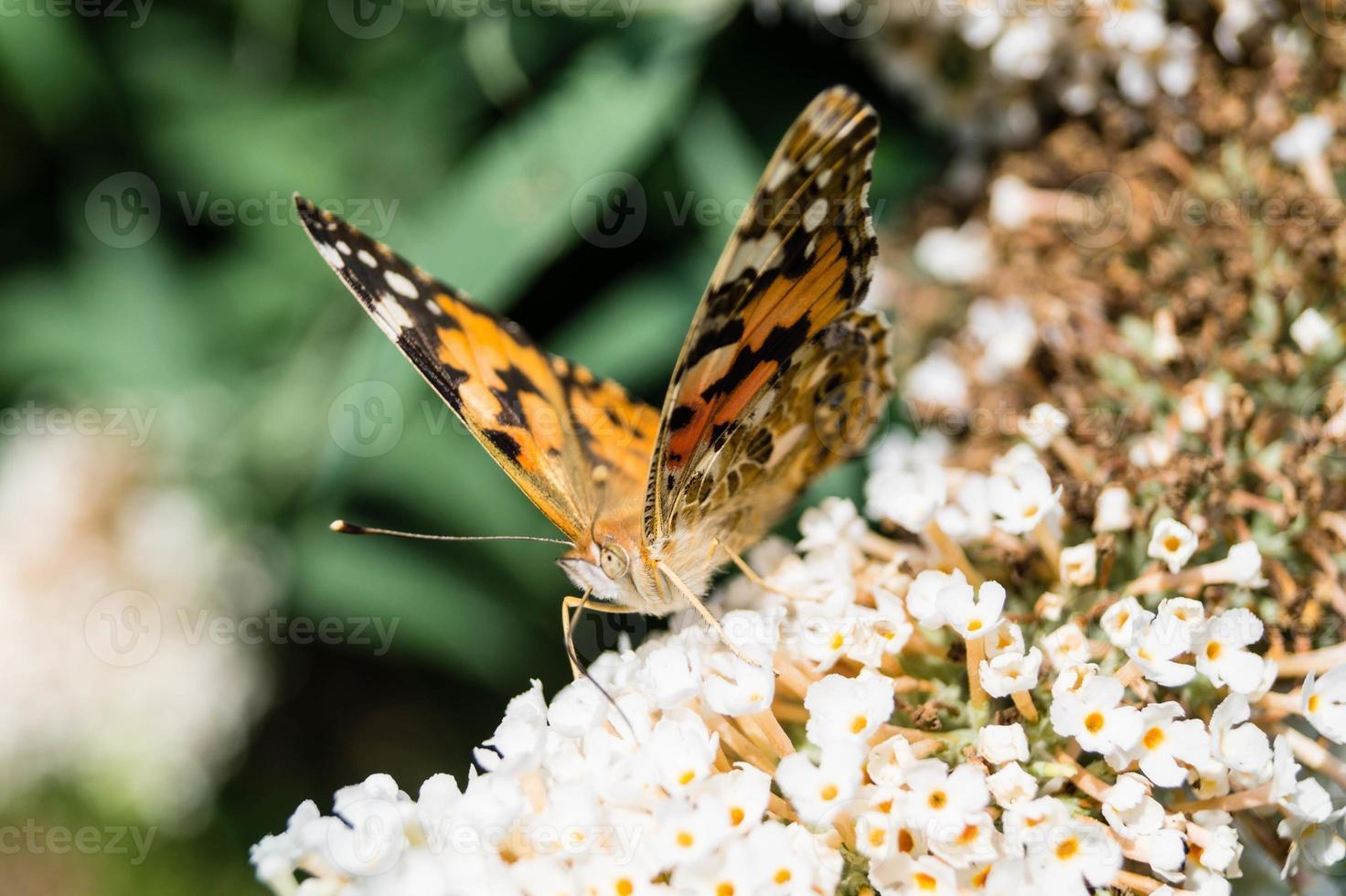 Mariposa vanessa cardui o Cynthia cardui en el jardín foto