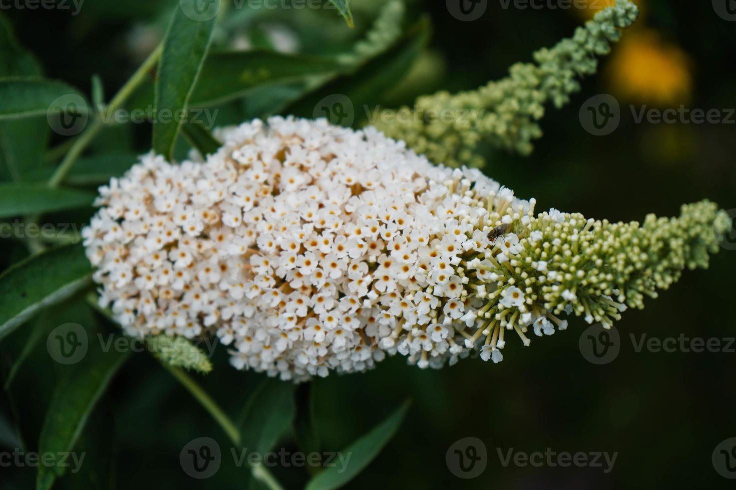 Buddleja davidii the Butterfly bush photo
